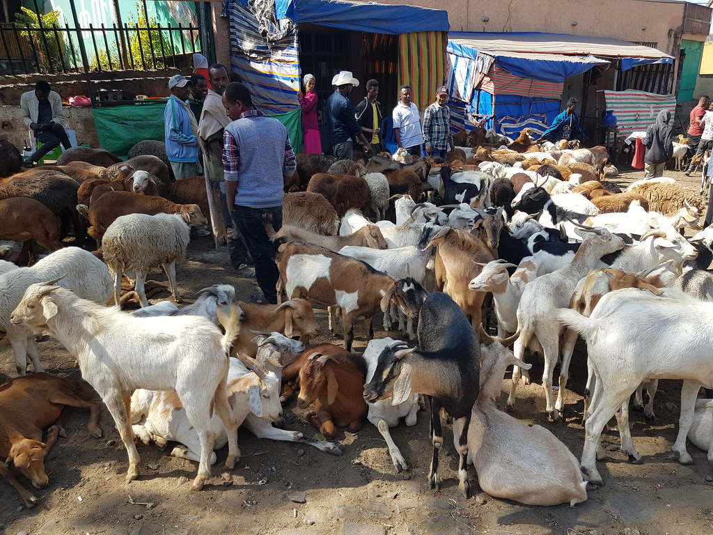 Targ z owcami na ulicach Gondar