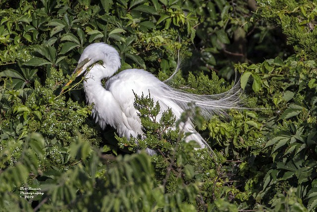 Great Egret with Nesting Material..