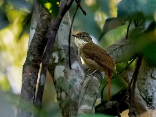 Para Foliage-gleaner/Barranqueiro-do-pará (Automolus paraensis)