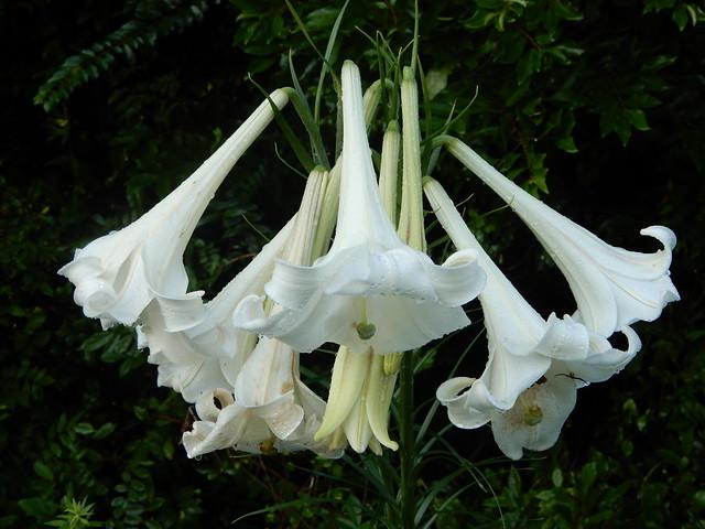 Lilium phillipinense