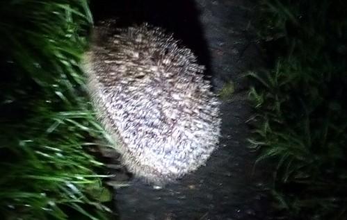 hedgehog Aug 19