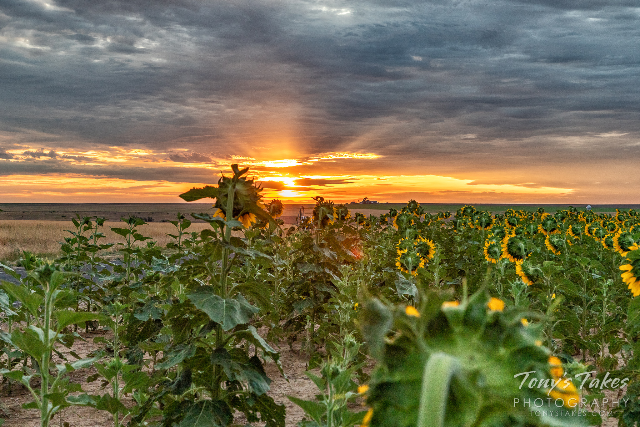 Sunflowers greet the sunrise on the Colorado plains. (© Tony's Takes)