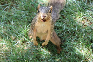 65/366/4082 (August 15, 2019) - Fox Squirrels on Two Summer Days at the University of Michigan - August 14th & 15th, 2019