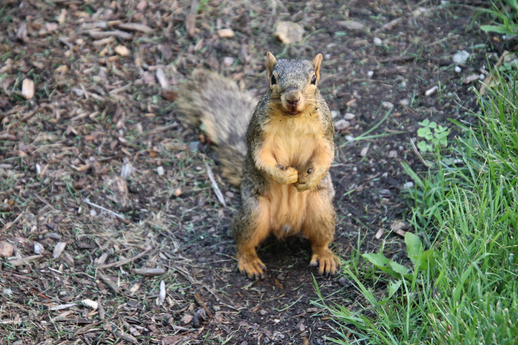 64/366/4081 (August 14, 2019) - Fox Squirrels on Two Summer Days at the University of Michigan - August 14th & 15th, 2019