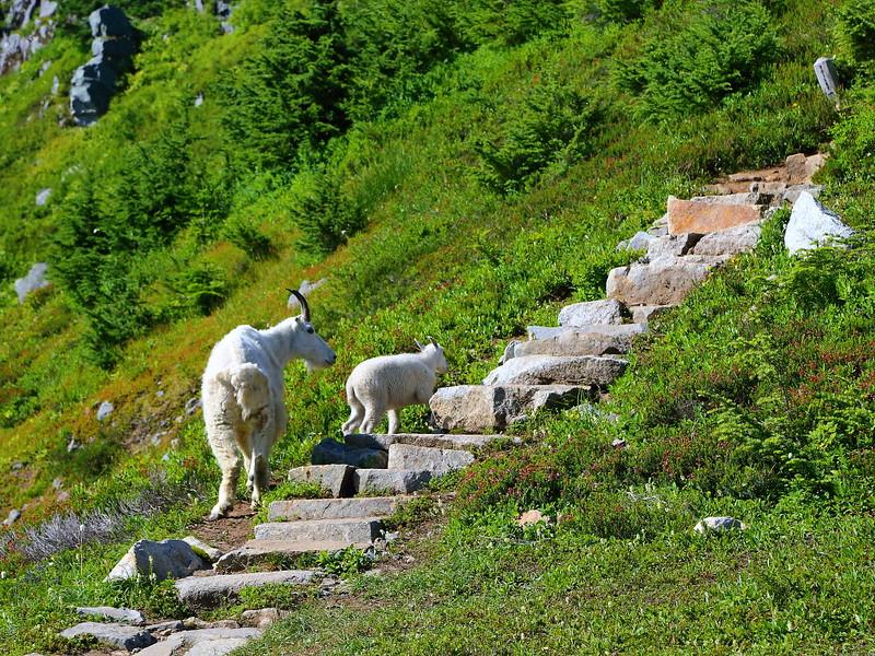 IMG_3899 Mountain Goats Nanny and Kid