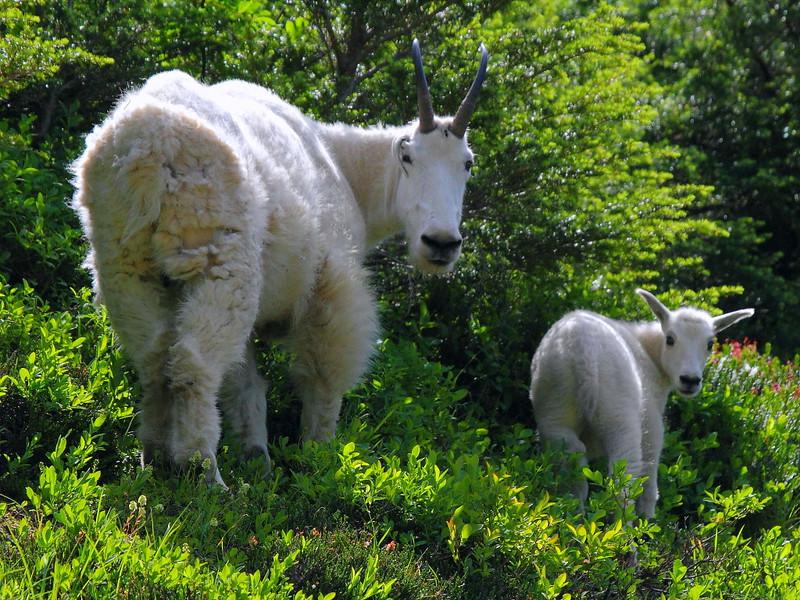 IMG_3226 Mountain Goats Nanny and Kid