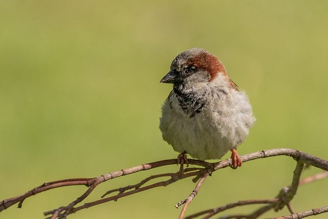 House Sparrow male (Explored 08/16/2019)