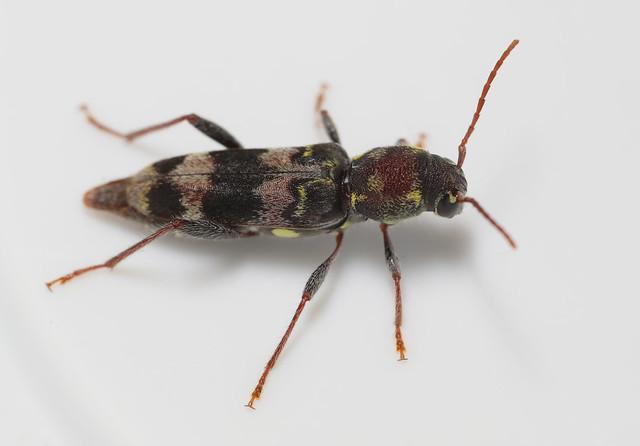 Banded beetle