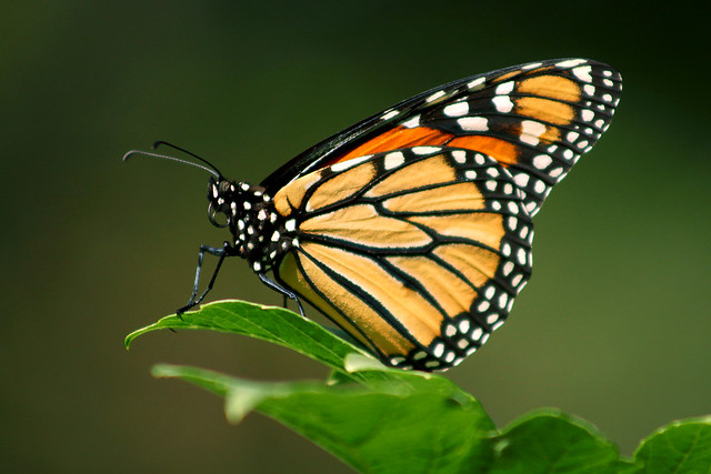 A Monarch Butterfly perching with a rolled-up proboscis