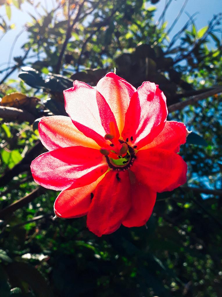 00660 Passiflora mixta var. eriantha, TAXO SILVESTRE