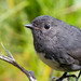 South Island Robin - Photo (c) Jake Osborne, some rights reserved (CC BY-NC-SA)