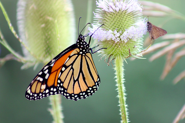 A Monarch Butterfly and a Dion Skipper drinking nectar from the same flower