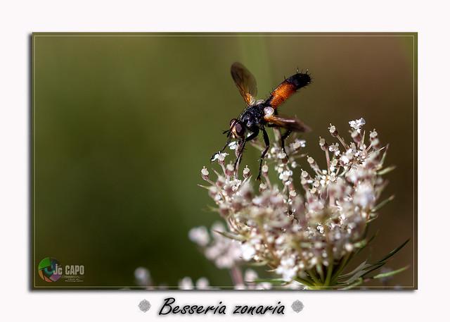 Besseria zonaria :