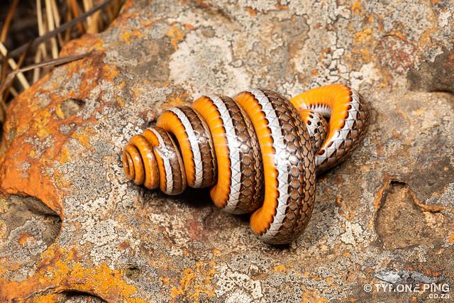 Psammophis crucifer - Cross Marked Grass Snake