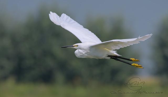 Egretta garzetta, Garzetta, Aigrette garzette, Little egret
