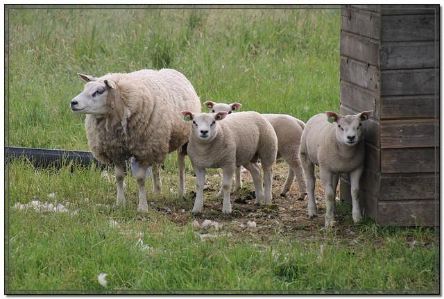 #Schaap #Sheep
