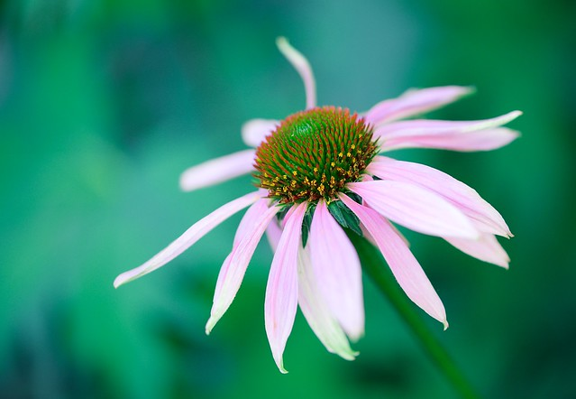Garden Coneflower   ...EXPLORED 8-17-2019