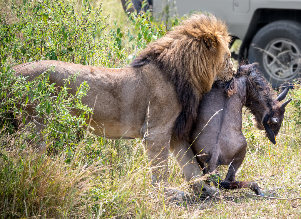 A lion picks up a wildebeest hunted by the lioness