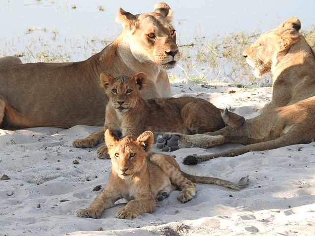 Lions, Chobe National Park, BOTSWANA 20180913