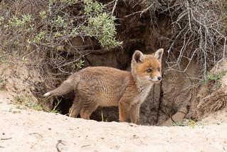 Red fox cub (Vulpes vulpes) Vos pup