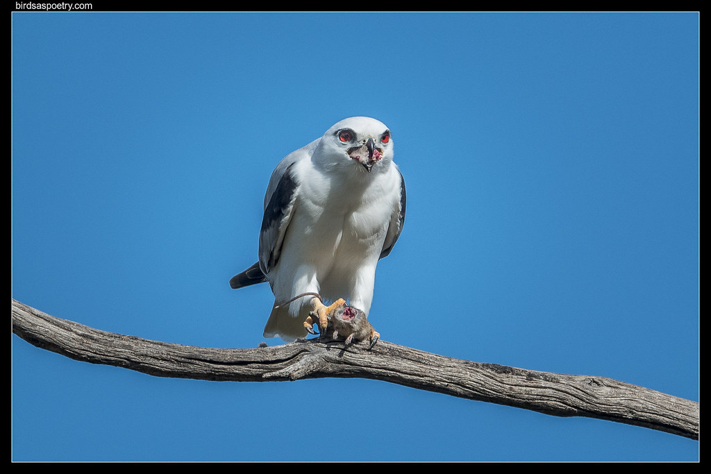 Black-shouldered Kite: Breakfast