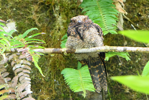 Guardacaminos Lira, Lyre-tailed Nightjar (Uropsalis lyra)