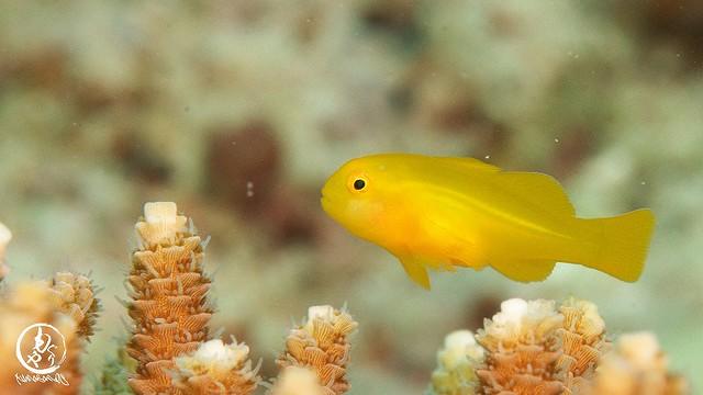 キイロサンゴハゼ幼魚ちゃん♪