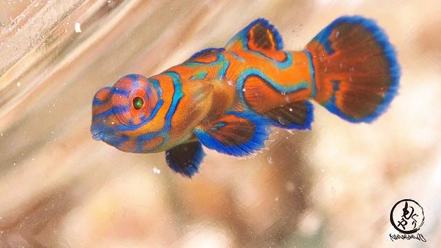 ラブリーなニシキテグリ幼魚ちゃん♪