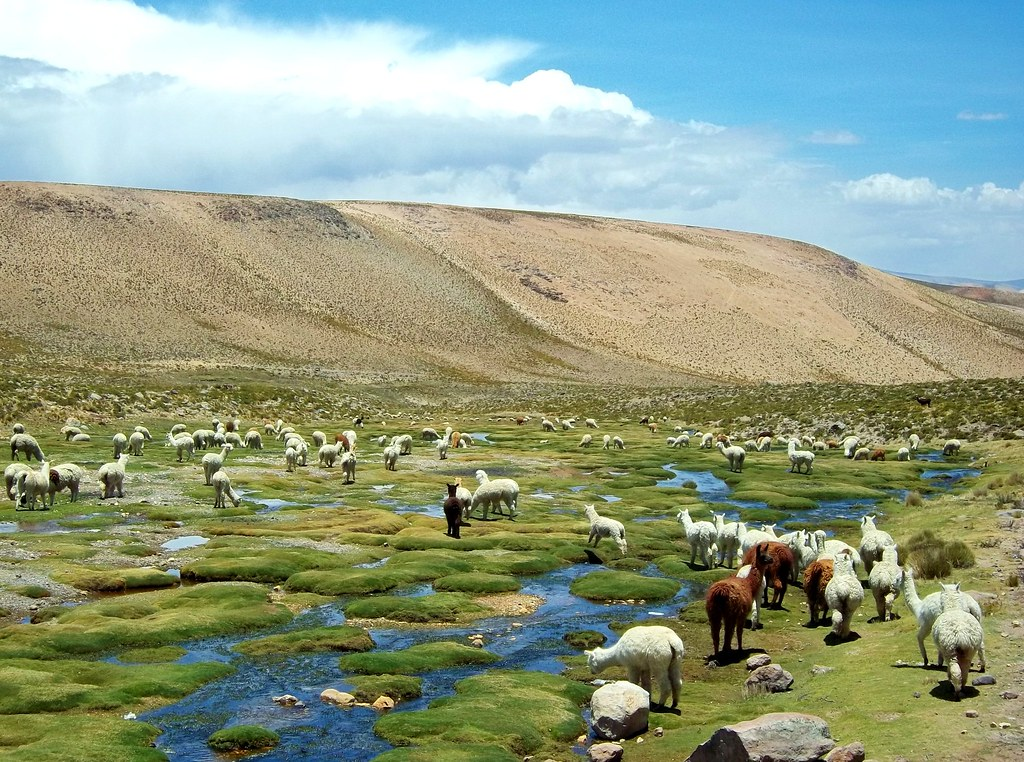 羊駝原生於南美安地斯山4000公尺的高山草原。圖片來源:Hugo Hiram from Pixabay