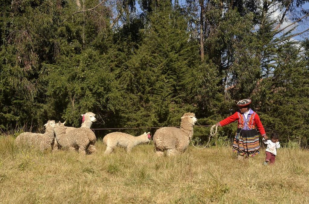 傳統安地斯婦女負責放牧羊駝。圖片來源:Carlos Chirinos from Pixabay