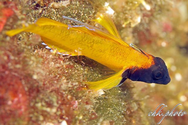 Tripterygion delaisi - Gelber Spitzkopfschleimfisch