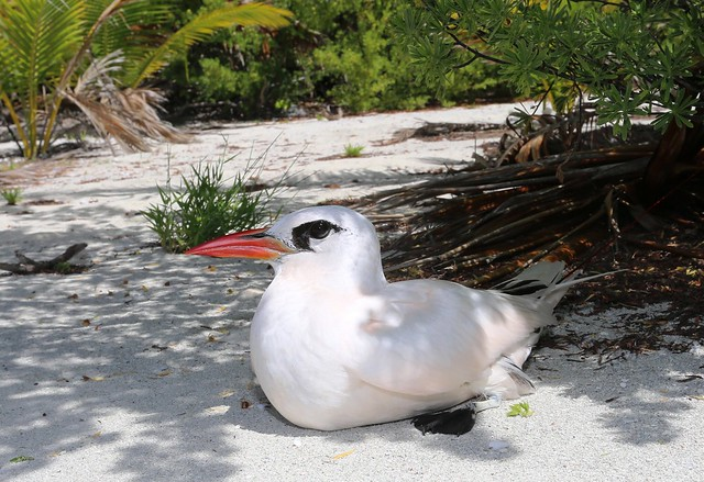 Nesting Red-tailed Tropicbird