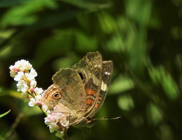 Buckeye Butterfly at Five Brooks