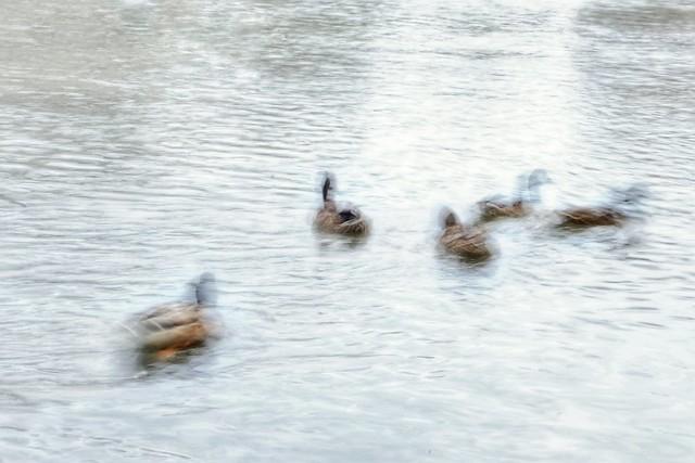 Ducks, meeting ( HK & ICM )