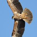 Juvenile Brahminy Kite in flight