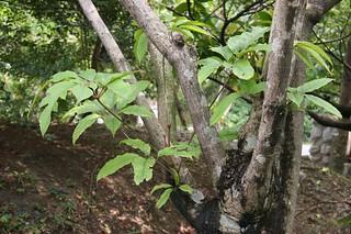 圖片來源:認識植物。擁有者:莊溪。(CC BY-NC-ND 2.5 TW)