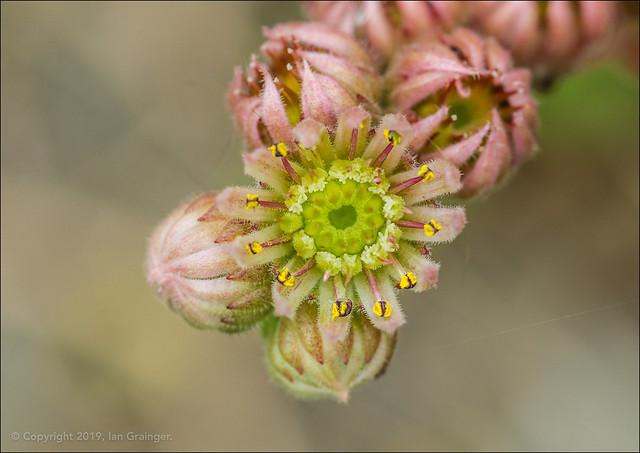 Houseleek Bloom