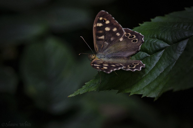 Speckled Wood II