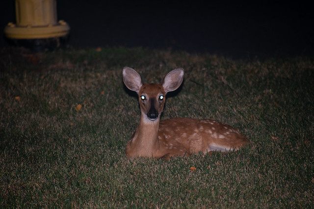 White-Tailed Deer Fawn 08-14-2019 3226
