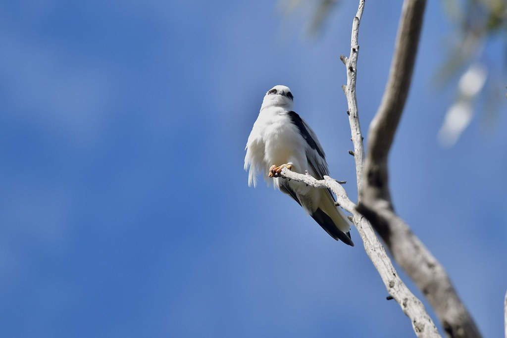 Black shouldered Kite  ( waiting on dinner )