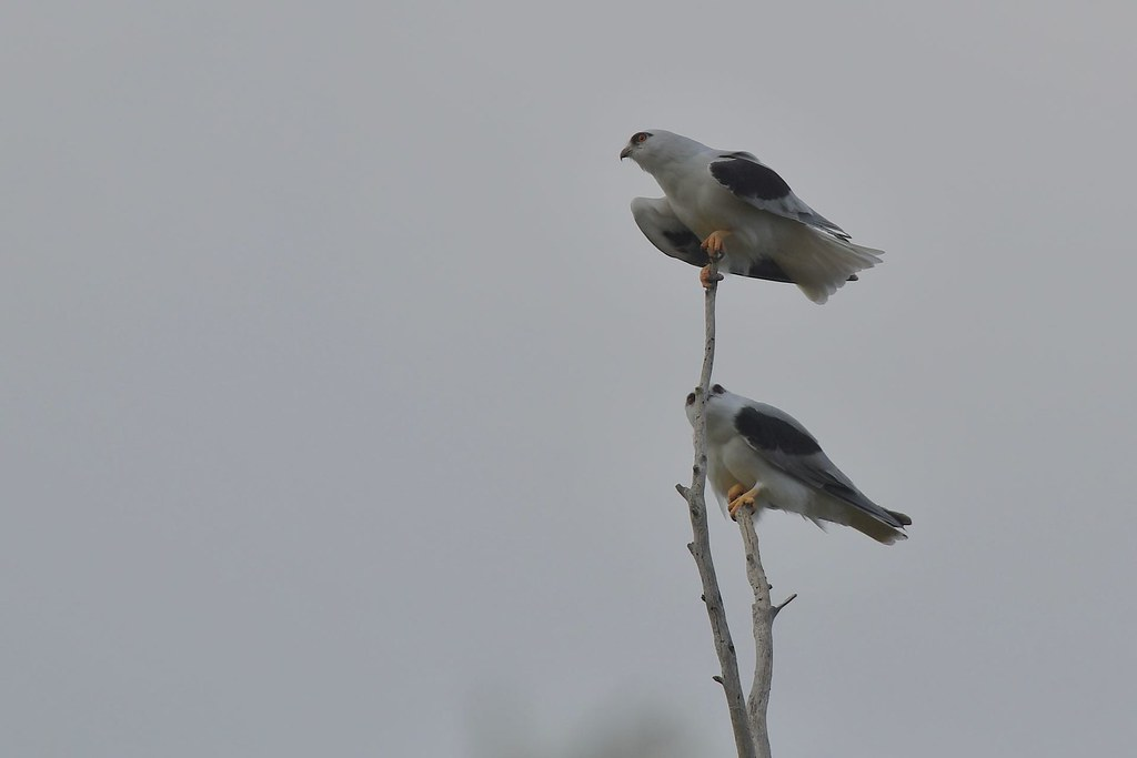 Black shouldered Kites ( its a little windy )