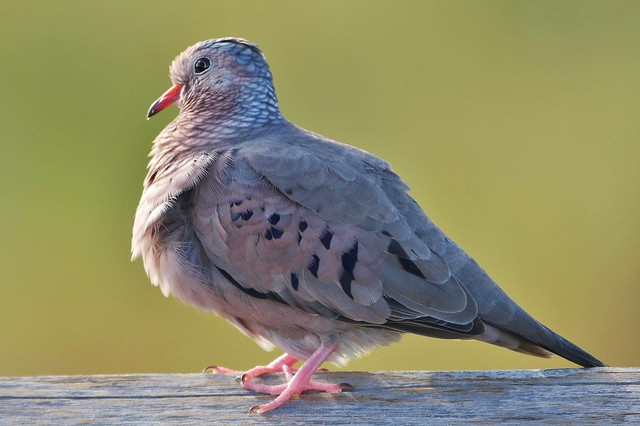Male Common Ground Dove (Columbina passerina)