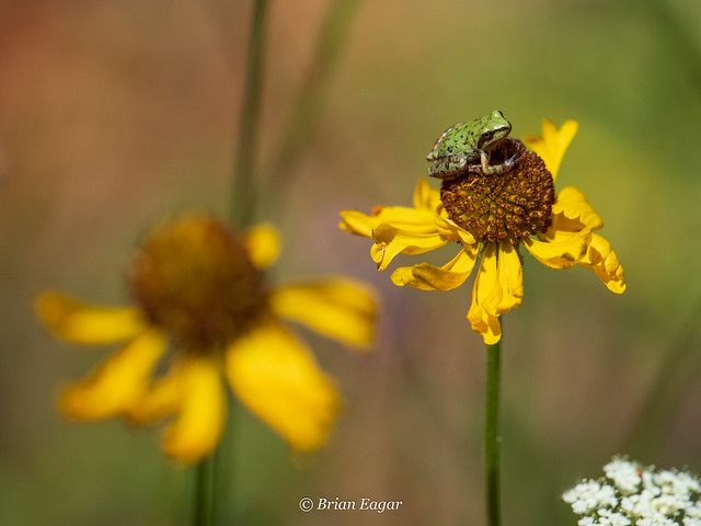 Sierran treefrog on flower