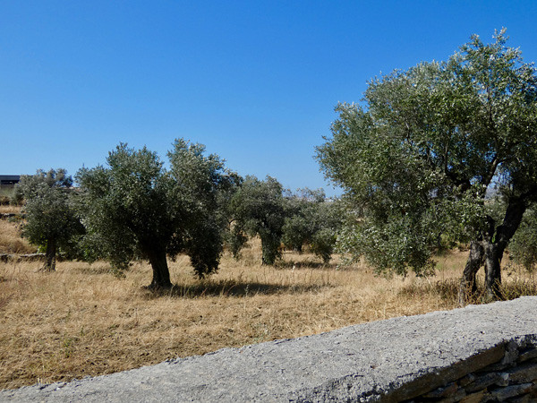 Oliviers Naxos