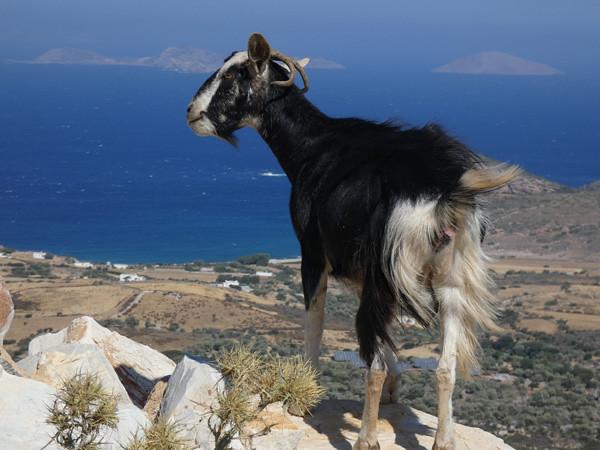 chèvre noire
