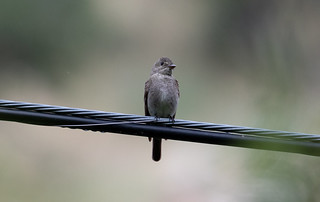 Western Wood-Pewee | by Laura Erickson