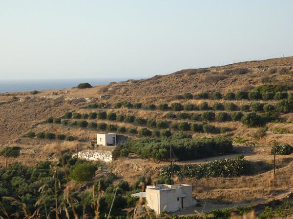 oliviers en terrasses