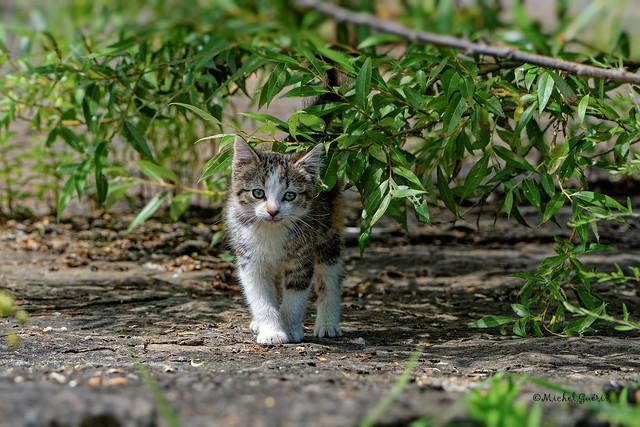 Chat- Cat - Feles