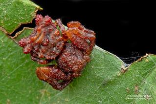 Bird dung crab spider (Phrynarachne sp.) - DSC_8703