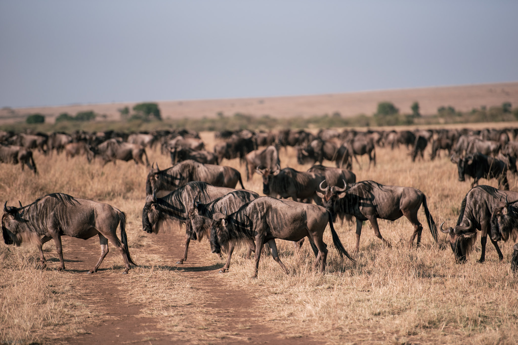 Huge herds of wildebeests
